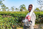 Woman in the tea plants of a tea plantation, Assam, India
