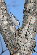 This is a white breasted nuthatch crawling down one of the branches near the top of the oak tree in our back yard in upstate NY.