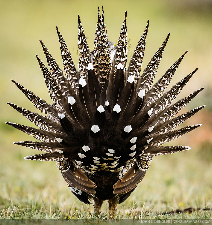 Greater sage-grouse (Centrocercus urophasianus), an icon of the American West, once numbered as many as 16 million birds. Today, fewer than 200,000 remain. Their population is in decline due to loss of habitat from energy development and residential building in sage brush areas. A scientific study found that the population declined 55 percent from 2007 to 2013. Sage grouse are named for the sagebrush that they primarily feed on. <br /> <br /> Greater sage-grouse are an umbrella species. Conserving their habitat benefits 350 other species. Greater sage-grouse had been listed as a candidate for listing under the Endangered Species Act. In 2015, after evaluating the best available scientific and commercial information regarding the greater sage-grouse, the U.S. Fish & Wildlife Service has determined that protection for the greater sage-grouse under the Endangered Species Act is no longer warranted and withdrew the species from the candidate species list.<br /> <br /> Males are known for the large air sacks on their breasts that they inflate during elaborate courtship dances performed on leks (mating areas). Sage-grouse are the largest native grouse in North America.