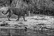 A jaguar (Panthera onca) walking along a sandy bank of a river in the Pantanal, black and white, Pantanal, Mato Grosso, Brazil
