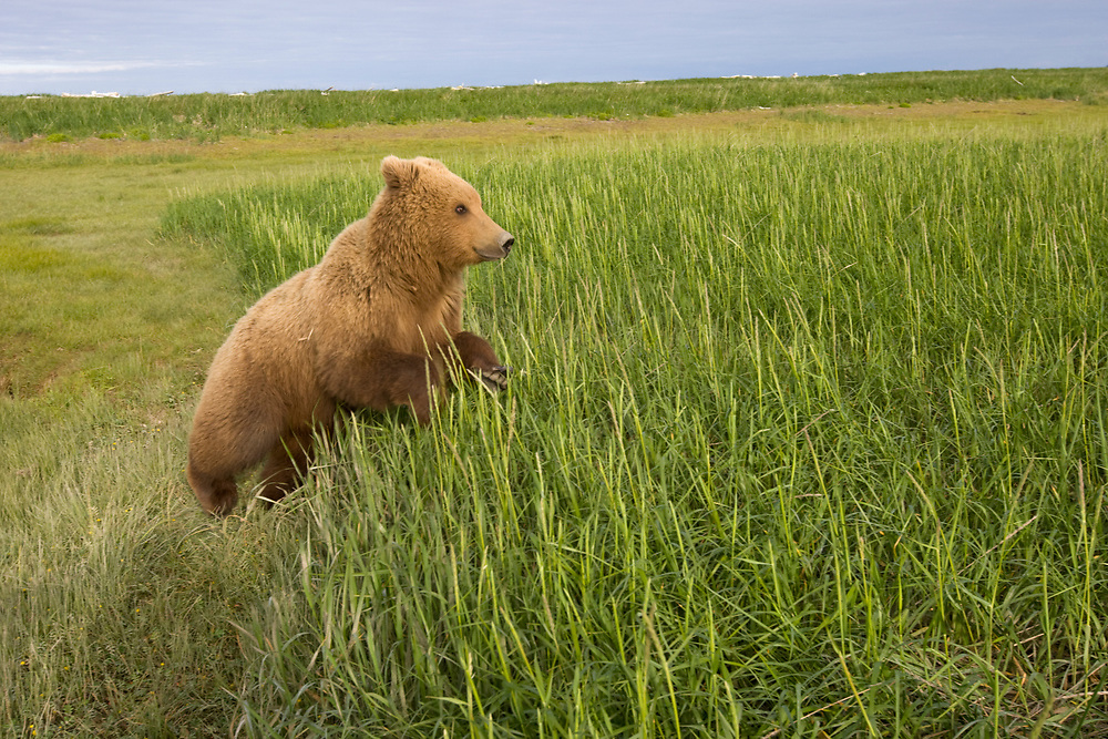 USA, Alaska, Katmai National Park, Brown Bear (Ursus arctos) running through tall grass in meadow along Hallo Bay