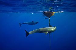false killer whales, Pseudorca crassidens, hunting for a lone yellowfin Tuna, Thunnus albacares, which is taking refuge under the FAD (Fish Aggregation Device), off Kohala Coast, Big Island, Hawaii, USA, Pacific Ocean