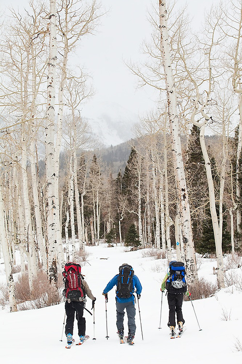 Backcountry skiers travel down a jeep road lined with aspen trees in Uncompahgre National Forest, Colorado.
