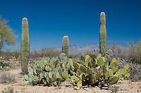 Typical habitat in Saguaro National Park: saguaro and prickly pear cacti, in the Sonoran Deseret, in Tucson, Arizona.