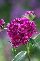 Dianthus barbatus F1 'Sweet Magenta Bicolour'. Sweet William