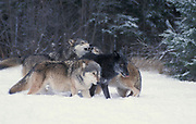 Timber or Grey Wolf, Canis Lupus, Minnesota USA, controlled situation, in snow, winter, four wolves play fighting
