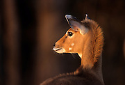 Nilgai calf (Boselaphus tragocamelus). Range: Pakistan and India.