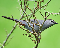 Gray Catbird. Image taken with a Nikon D300 camera and 600 mm f/4 VR lens.