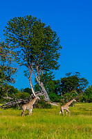 Giraffes near Kwara Camp, Okavango Delta, Botswana.