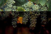 Chardonnay Grapes hanging on vines in Anderson Valley, California
