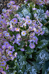 Primula vulgaris 'Avondale' - Kennedy Irish Series - covered with frost