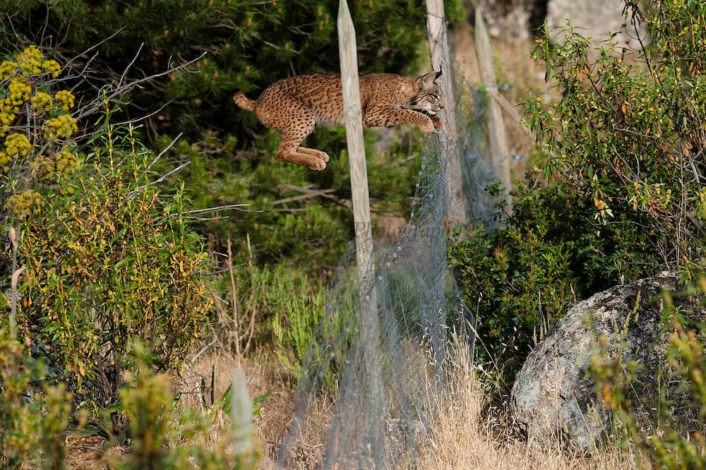 Iberian lynx<br /> Lynx pardinus<br /> Wild<br /> Sierra de Andujar Natural Park<br /> Spain