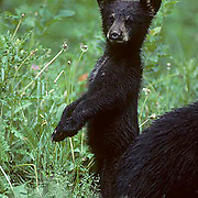 Black Bear, (Ursus americanus) Minnesota, very young cub, shows curiosity, standing up on hind legs near sow,to get better look