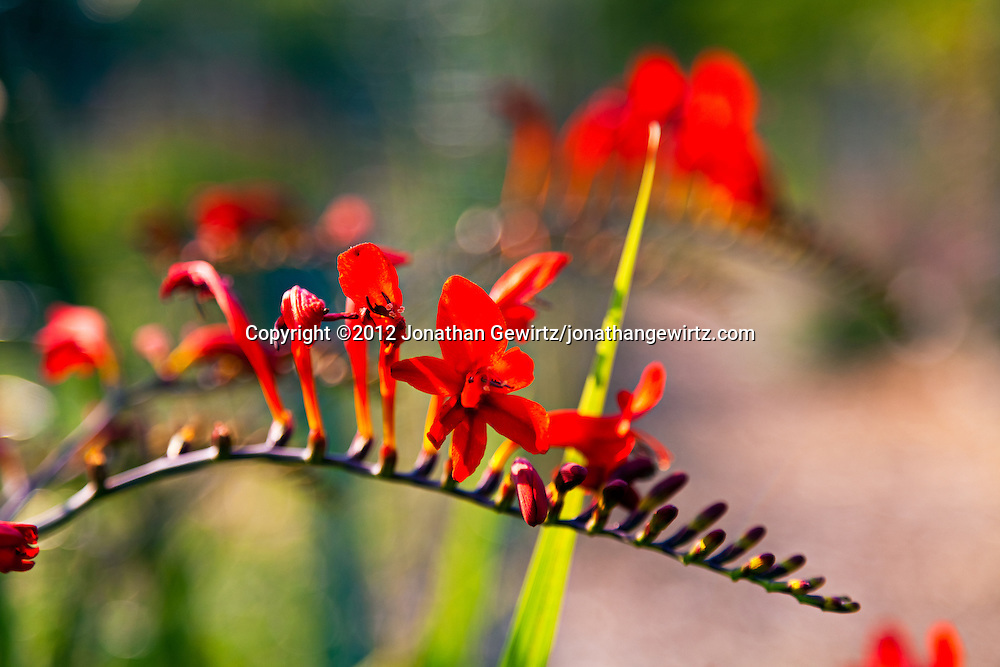 Red blossoms in a flower garden. WATERMARKS WILL NOT APPEAR ON PRINTS OR LICENSED IMAGES.