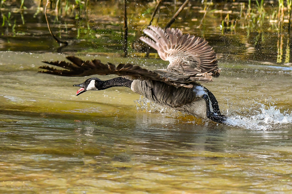 Canadian Goose on the Catawba River Canadian Goose on the Catawba River
