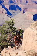 Oct. 7, 2008 -- GRAND CANYON NATIONAL PARK: A mule ride wrangler rides up the Bright Angel trail at the end of a trail ride in the Grand Canyon National Park in northern Arizona. Photo by Jack Kurtz
