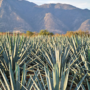 Blue agave fields with Barranca de Lerma in the background. Jalisco, Mexico.
