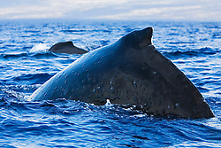 Humpback Whales, Megaptera novaeangliae, with numerous whale warts - bumps or swellings made by parasitic worms which coil up into tight balls infesting the subdermal layer, Hawaii, Pacific Ocean