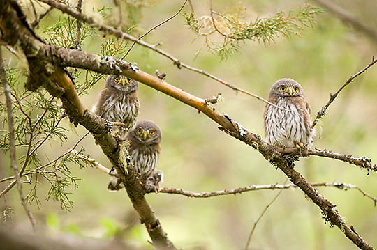 Northern Pygmy Owl(Glaucidium  gnoma) Montana