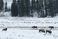 A pair of bull moose trot past grazing bison in Yellowstone National Park. At up to 7 feet high, moose are the tallest mammals in North America, while bison are the largest. Bull moose typically lose their antlers in early winter, but you can see the stumps remaining between their eyes and ears. The flap of skin hanging from their necks is called a bell and it is not known for sure what purpose it serves. The Lamar Valley where this was taken is located in the remote northeast corner of Yellowstone, along the only road that's kept open in the winter. It has been called the Serengeti of North America because of the wide variety of large wildlife that inhabit the valley. Grizzlies, black bears, moose, bison, elk, wolves, pronghorn antelope, bighorn sheep, coyotes, and red foxes can all be found here.