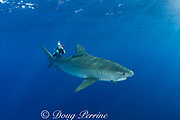 Stefanie Brendl videotapes tiger shark ( Galeocerdo cuvier ) North Shore, Oahu, Hawaii, USA ( Central Pacific Ocean ) MR 389
