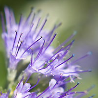 Flowering Heavenly Blue, photographed with a Lensbaby 2.0