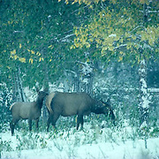 Elk, (Cervus elaphus) Cow and calf graze on leaves during early fall snow. Yellowstone.