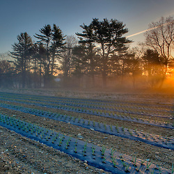 Sunrise over a garlic field at Heron Pond Farm in South Hampton, New Hampshire. HDR
