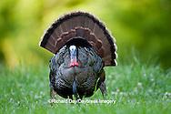00845-07119 Eastern Wild Turkey (Meleagris gallopavo) gobbler strutting in field, Holmes Co., MS