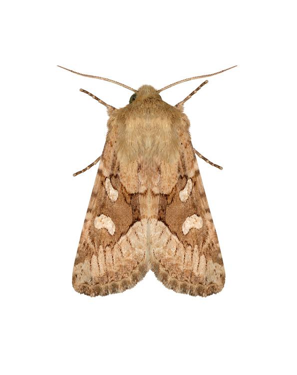 73.130 (2355)<br /> Dumeril's Rustic - Luperina dumerilii