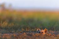"""Tüpfel-Hyänen (Crocuta crocuta) aus dem Liuwa Plain Nationalpark im Westen von Sambia nahe Angola nördlich von Kalabo. Szenen bei einem Bau am Abend.<br /> <br /> Die Tüpfelhyäne oder Fleckenhyäne (Crocuta crocuta) ist eine Raubtierart aus der Familie der Hyänen (Hyaenidae). Sie ist die größte Hyänenart und durch ihr namensgebendes geflecktes Fell gekennzeichnet; ein weiteres Charakteristikum ist die """"Vermännlichung"""" des Genitaltraktes der Weibchen. Die Art bewohnt weite Teile Afrikas und ernährt sich vorwiegend von größeren, selbst gerissenen Wirbeltieren. Tüpfelhyänen leben in Gruppen mit einer komplexen Sozialstruktur, die bis zu 80 Tiere umfassen können und von Weibchen dominiert werden. Die Jungtiere, die zwar bei der Geburt schon weit entwickelt sind, aber dennoch über ein Jahr lang gesäugt werden, werden in Gemeinschaftsbauen großgezogen."""