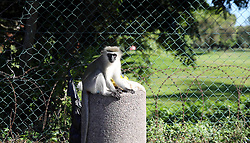 SOUTH AFRICA - Durban - 10 May 2020 - Even the monkeys out in in Durban north  took advantage of the relaxed regulations on Day 1 of Level Four lockdown which allow walking, excercise or jogging between 6am and 9am. Picture: Motshwari Mofokeng/African News Agency (ANA)