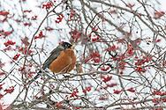 01382-05316 American Robin (Turdus migratorius) in Hawthorn tree in winter Marion Co. IL