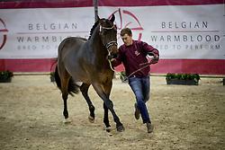 065 - Norton vd Dries <br /> Voorstelling op zachte bodem<br /> Hengsten keuring BWP - Koningshooikt 2017<br /> © Dirk Caremans<br /> 27/12/2016