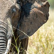 Front view of the left side of an elephant's front at Tarangire National Park in northern Tanzania not far from Ngorongoro Crater and the Serengeti.