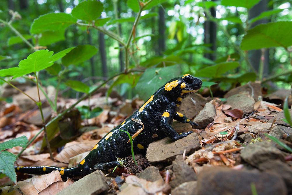 Feuersalamander, Salamandra salamandra, Poloniny Nationalpark, West Karpaten, Slowakei, Europa / Fire Salamander, Salamandra salamandra, Poloniny Nationalpark, Western Carpathians, Slovakia, Europe