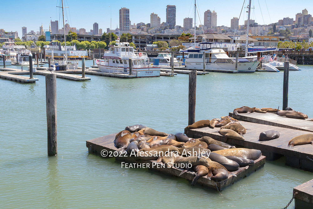 Pier 39 at Fisherman's Wharf, SF, with sea lions, boats and city skyline.