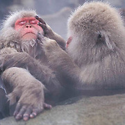 Snow Monkey or Japanese Red-faced Macaque, (Macaca fuscata) Grooming. Japan.