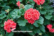 65021-035.05 Geranium (Pelargonium 'designer hot coral') MO