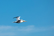 Gannet, Morus bassanus, in flight in blue sky over the North West Atlantic Ocean, Massachusetts, USA