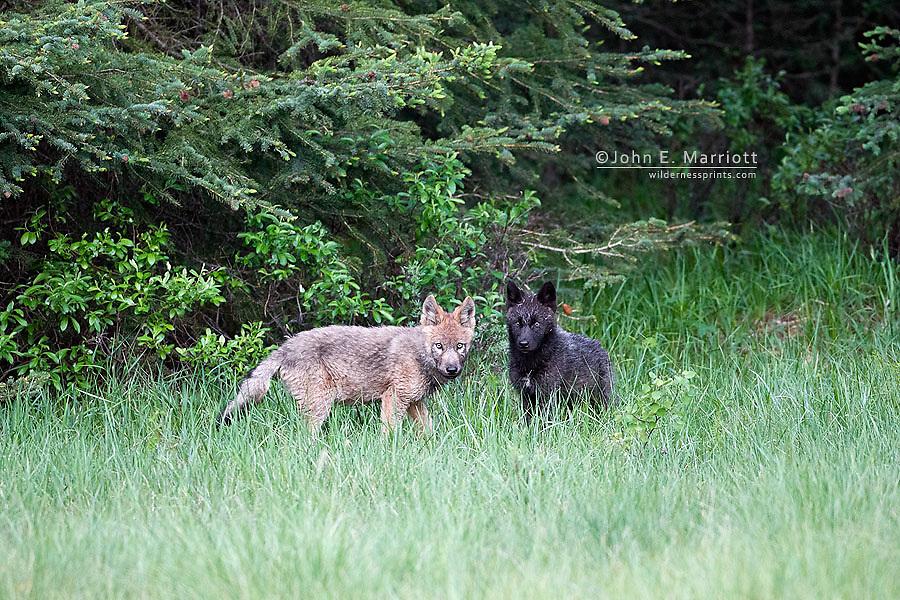 Wild wolf pup