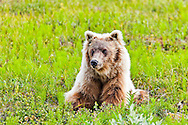Grizzly Bear on fresh green tundra, Denali National Park & Preserve, Alaska, Summer.