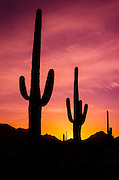 Saguaro cactus at sunrise under Gates Pass, Tucson Mountain Park, Arizona USA