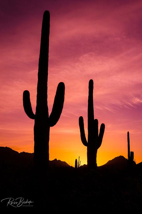 Saguaro cactus at sunrise under Gates Pass, Tucson Mountain Park, Arizona USA