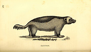 Wolverine (Glutton) from General zoology, or, Systematic natural history Part I, by Shaw, George, 1751-1813; Stephens, James Francis, 1792-1853; Heath, Charles, 1785-1848, engraver; Griffith, Mrs., engraver; Chappelow. Copperplate Printed in London in 1800. Probably the artists never saw a live specimen
