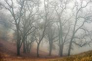 Oak trees in fog on Mount Hamilton, Santa Clara County, California