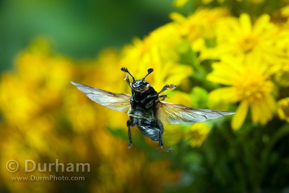 A burying beetle (Nicrophorus defodiens) in flight. Cascade Head Preserve, Oregon Coast.
