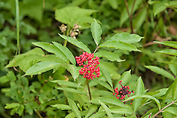 Found throughout most of Canada and the Northern United States, the red elderberry is a very attractive small tree that is important historically for some native American peoples. The small, seedy ripe berries are known to cause nausea and are mildly toxic unless cooked. They are most often used to make jellies or wine. These were found at about 4000 feet in elevation in the North Cascades of Northern Washington.