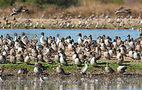 Greater White-fronted Geese, Anser albifrons, and Northern Pintails, Anas acuta, at Sacramento National Wildlife Refuge, California
