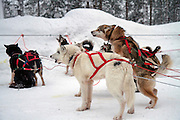 A team of Husky dogs pull a sledge. This breed of domestic dog (Canis familiaris) is used in teams to pull sledges in Arctic snow. The dogs can pull the sledge at about the pace of a running man. This is a commonly used form of transport in Arctic regions. Photographed in Lapland, Scandinavia in February